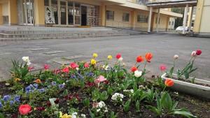 竹田中学校のチューリップ