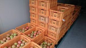 トマトの出荷状況