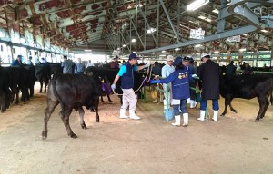 豊後牛の仔牛 佐賀県に行って育った牛は佐賀牛となります