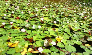 碧雲寺にある龍吟池の蓮2