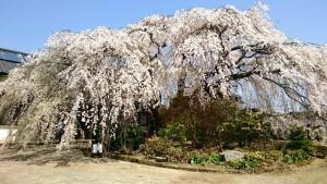 竹田は宮城の古庄さん家と、久住は白丹の木村さん家のしだれ桜3 大分県議会議員 土居昌弘